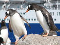 Gentoo penguins these two are very cautiously moving down the slippery rocks to the cold antarctic waters with a rare cruise ship Stock Photography