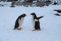 Gentoo penguins two young seeming to have an argument Royalty Free Stock Photos