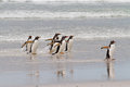 Gentoo penguins waddle out of the sea falkland islands Stock Photography