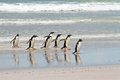 Gentoo penguins waddle out of the sea falkland islands Royalty Free Stock Photos