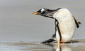 Gentoo pinguin Stockfotos