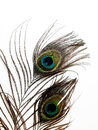 Genuine peacock feathers from peacocks raised on a farm close to a trade war the beautiful natural colors Stock Photos