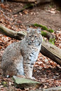 Geoffroy s cat is sitting and he looking around Royalty Free Stock Photography