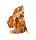 Geometer moth kent s selenia kentaria on a white background Stock Photography
