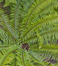 Geometry in ferns spiral of green Stock Image