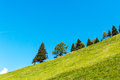 Geometry in nature coniferous trees growing on a hillside and background of blue sky Royalty Free Stock Images