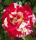 George Burns broken color peppermint striped Floribunda Rose Royalty Free Stock Photo