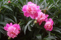 Georgeous peony in a full bloom Royalty Free Stock Image