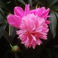 Georgeous peony in a full bloom Stock Photo