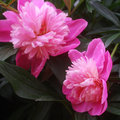 Georgeous peony in a full bloom Stock Images