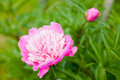 Georgeous pink peony in bloom a full Stock Photos