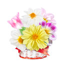 Georgina flowers and pink tulip in white red basket. Bouquet of colorful flowers isolated on white background