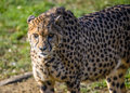 Gepard Royalty Free Stock Photo