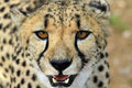 Gepard Namibia Royalty Free Stock Photo