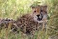 Gepard trawy leżącego Obraz Stock
