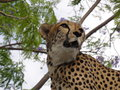 Gepard uderza pozę Fotografia Royalty Free