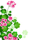 Geranium Stock Photo
