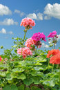 Geranium Royalty Free Stock Image