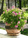 Geranium in a decorative pot Royalty Free Stock Photo