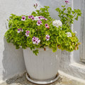 Geranium flowerpot closeup natural background Royalty Free Stock Photo