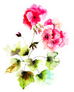 Geranium flowers pink watercolor illustration Stock Photo