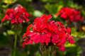 Geranium flowers red garden close up shot Royalty Free Stock Photography