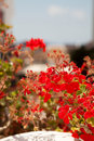 Geranium flowers in Santorini Royalty Free Stock Photo