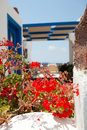 Geranium flowers in Santorini Stock Photo
