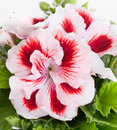Geranium flowers of a two color close up Stock Image