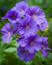 Geranium - Geranium pratense - meadow cranesbill Royalty Free Stock Photo