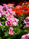 Geranium market stall croation flower specializing in the sale of geraniums Stock Image