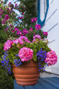 Geranium planter a terracotta garden filled with geraniums and lobelia Royalty Free Stock Images