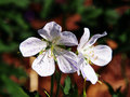 Geranium pratense `Splish-Splash` Royalty Free Stock Photo