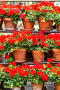 Geranium red flowers in a clay pots Royalty Free Stock Photo