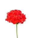 Geranium red Royalty Free Stock Photo