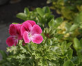 Geranium red in my garden Stock Photos
