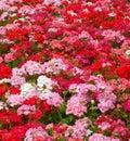 Muškáty kvetina
