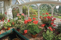 Geraniums in greenhouse Stock Photos