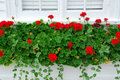 Geraniums on window Royalty Free Stock Image