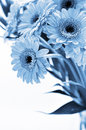 Gerber bouquet in blue toned Stock Photos