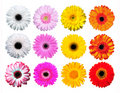 Gerber Daisy Stock Photo
