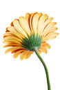 Gerber daisy back side view of flower isolated on white background Royalty Free Stock Images