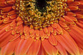 Gerber daisy close up of orange Royalty Free Stock Images
