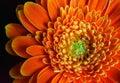 Gerber daisy closeup Royalty Free Stock Photo