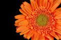 Gerber Daisy, Gerbera Royalty Free Stock Photo