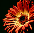 Gerber daisy softly lit red flower with a glamour glow Stock Photos