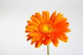 Gerber flower orange daisy on gray background Stock Image