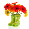 Gerber flowers in green boots on white background Stock Images