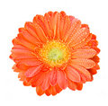 Gerber Flowers in orange color Royalty Free Stock Photo