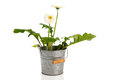 Gerber plant in bucket with white flowers Royalty Free Stock Images